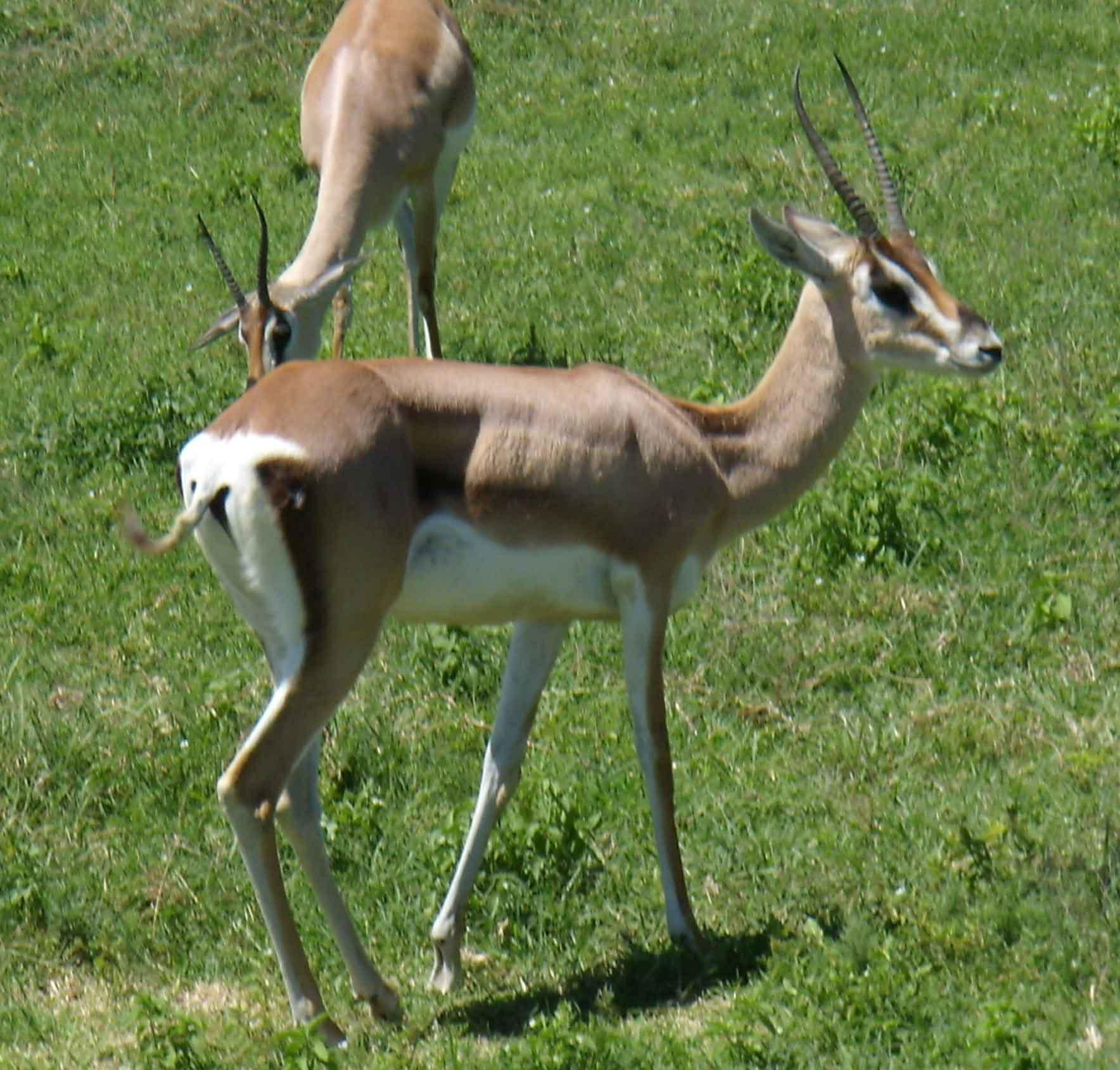 grant antilope foto
