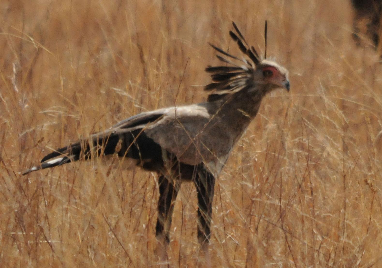 sekretär vogel tansania ~ ornithologietansania